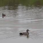 Fågelskådning 3 snatterand och svarthakedopping i bakgrunden